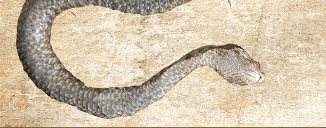 This snake may have died from its last meal - a centipede that bit its way out of the snake's belly. (ABC News photo)