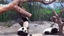 Playtime for the World's Only Giant Panda Triplets