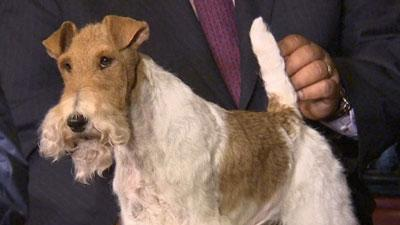 Winner of Westminster Dog Show Hits the Town