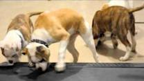 American Bulldogs Strut Their Stuff