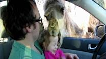 Camel tries to chew young girl's head at zoo