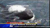"""Orca known as """"Mysterious Mel"""" spotted off San Diego"""
