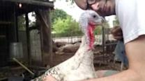 Who Knew Turkeys Were So Friendly?