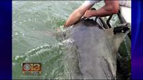 Large Tiger Shark Spotted In Waters Near Ocean City
