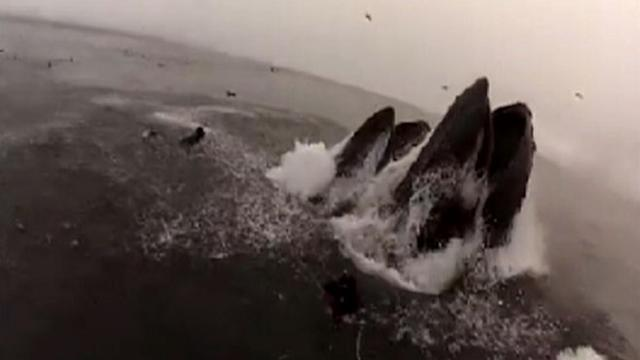 Divers Almost Swallowed By Whales