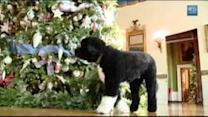 First dog Bo inspects White House Christmas decorations
