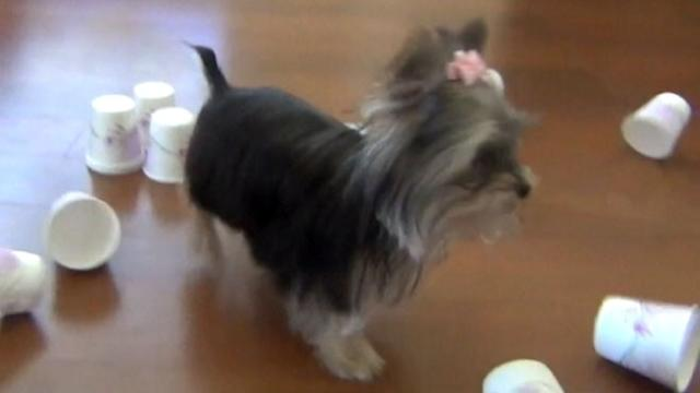 Dog vs. Dog: Yorkie Bowls With the Best of Them