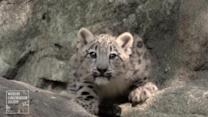 Snow leopard cubs make Bronx Zoo debut