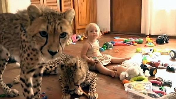 South African family adopts two cheetahs