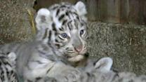 Rare white tiger cubs debut at Austrian zoo