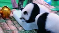 Panda triplets 1st birthday party at Chinese zoo