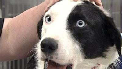 Vets Work To Save Shot Border Collie