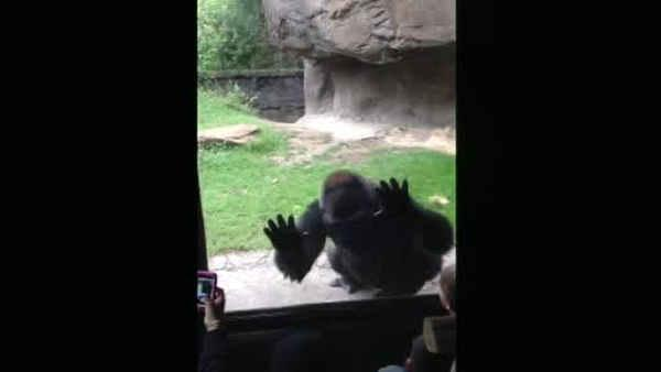 Fed up gorilla scares kids at Dallas zoo