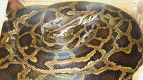 Python Lives In Family's Home For A Week
