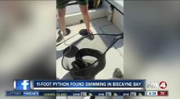 Man spots python along Tamiami Trail [Video]
