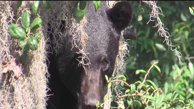 Bear's visit to Tampa ended by two darts