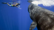 Sperm Whale Close Encounter: Tourists Swim With Gentle Giants