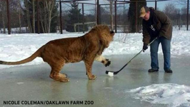 Lion at Nova Scotia Zoo Can Play Hockey