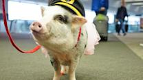 San Francisco International Airport Introduces Therapy Pig