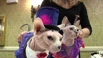 Raw: AKC previews feline fashion, daring dogs