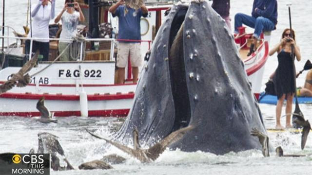 Humpback whales surprise human admirers in Calif.