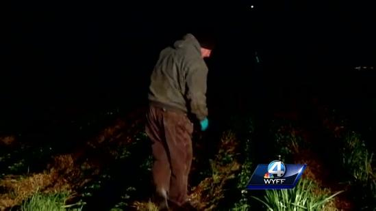 Strawberry farmers protect crops from freezing weather