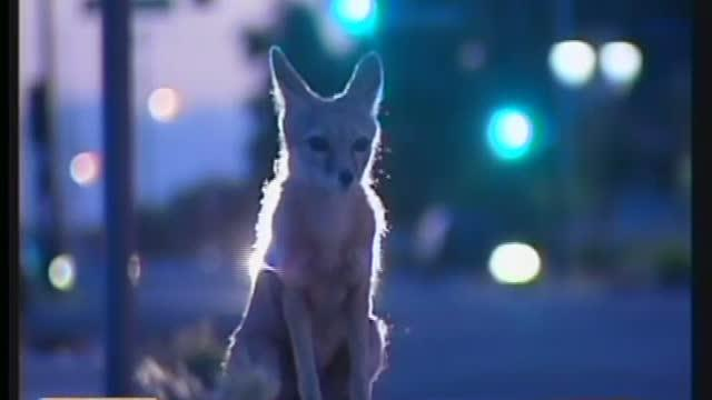 Kit Foxes Halt Part Of Downtown Constuction
