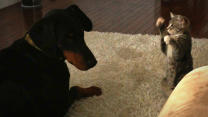 Dog Vs Cat Attack: Cute 'Ninja' Kitten Shows Doberman Who's Boss