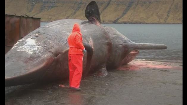 Exploding sperm whale carcass caught on camera