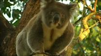 Overcrowded koala colony faces cull