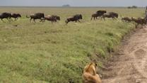Lion Surprises Wildebeest