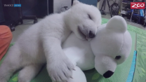Meet Nora, the Polar Bear!