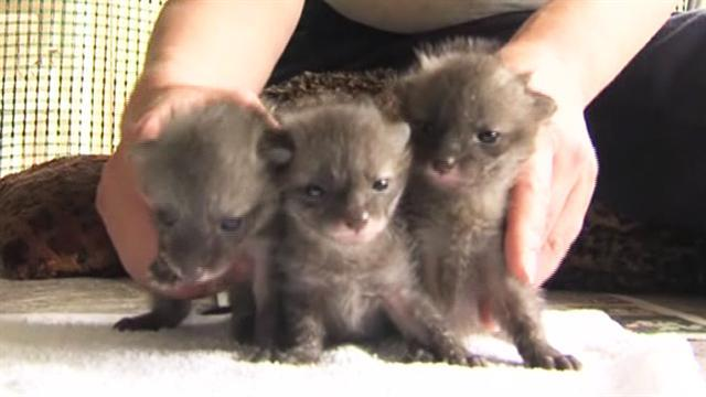 Baby gray foxes arrive at Ind. wolf park