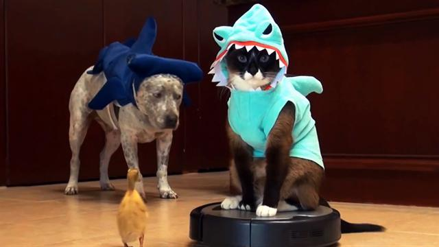Shark cat takes a Roomba ride