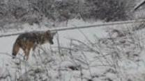 Coyote Hunts in Snow for Thanksgiving Feast