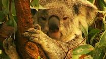 Koalas may be named an endangered species