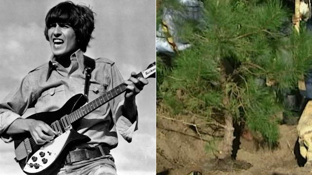 George Harrison memorial tree killed by beetles
