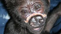 """Baby gorilla at Lincoln Park Zoo recovering """"remarkably well"""" after surgery"""