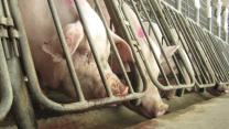 Wake Up Bacon Fans: Get Used to the Idea of Chinese Companies Buying American Pork Producers