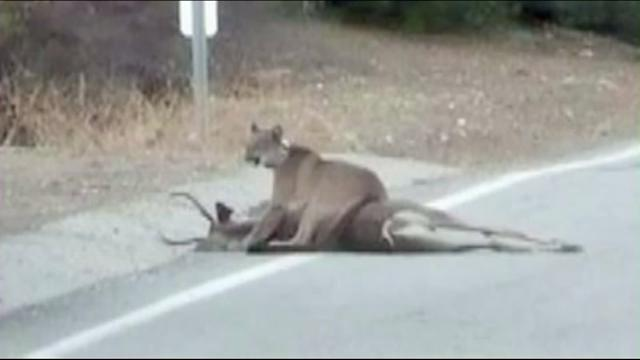 Mountain Lion Caught Dragging Deer Up A Driveway