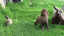 Cat Stalks Cute Moose Twins!
