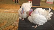 Meet the Turkeys About to be Pardoned by President Obama