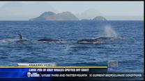 Large pod of gray whales spotted off coast