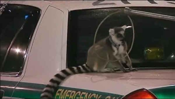 Caught on video: Lemurs on the loose in Miami
