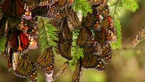 Monarch butterflies hit Mexico