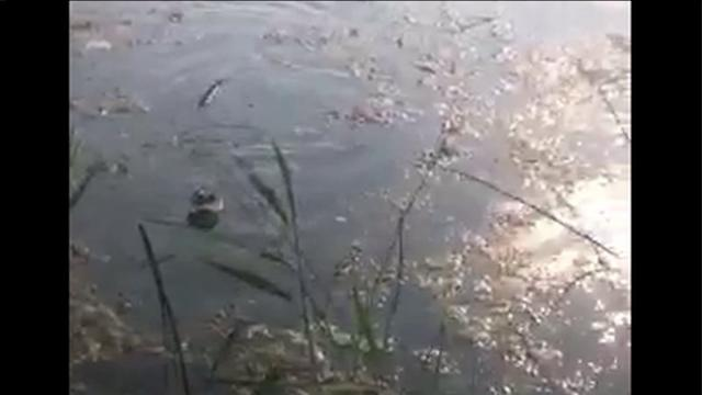 Another missing alligator captured on Chicago`s Far South Side