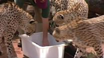 Cheetah has rare multiple birth in Australia