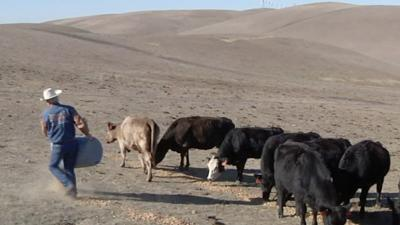 Record Calif. Drought Forcing Cattle Sell-Off