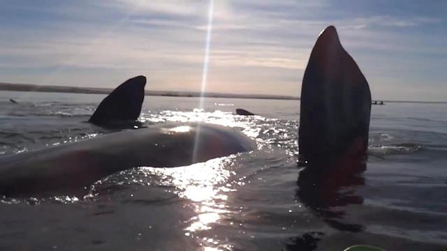 Viral Video: Whale Lifts Kayakers Onto Its Back