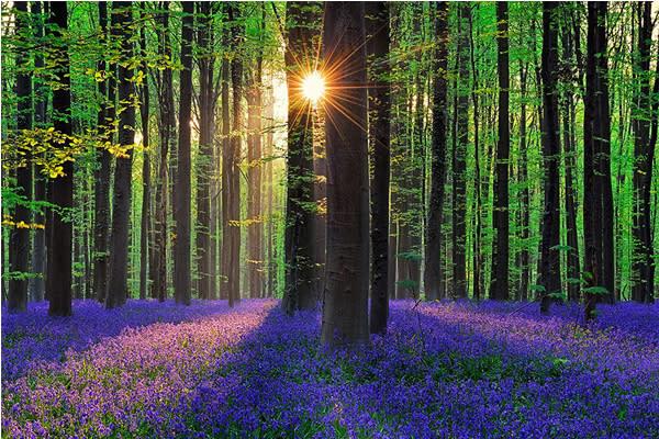 光線穿過林間揮灑在藍紫色花毯上。(圖片來源/boredpanda 攝影/Walter Spoor)